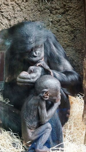 Baby And Mom 🐒🐵Animal Mammal Animal Wildlife Animals In The Wild Monkey Zoo Eye4photography  Baby Animals Zoo Frankfurt Behind Glass Cute Just Taking Pictures Bonobo Beliebte Fotos Nature Is Art Nature_perfection