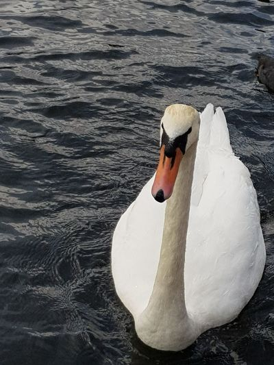 EyeEm Selects Animals In The Wild Swan Bird One Animal Water Lake Animal Themes Animal Wildlife No People Swimming Nature Beak Water Bird Day Outdoors Close-up Nature The Week On EyeEm Tranquility Beauty In Nature No Edits No Filters