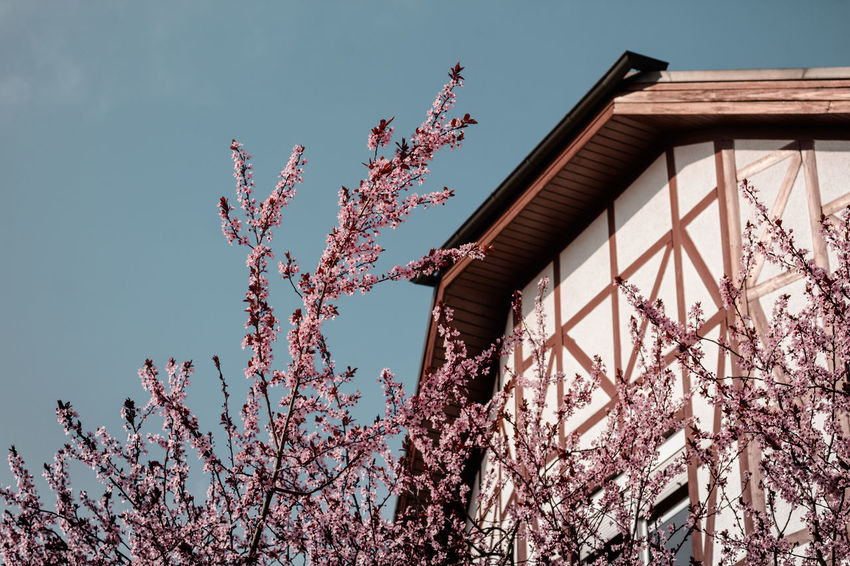 Cherry Blossoms Architecture Blooming Blue Building Built Structure Cherry Blossoms Cloud Day Flower Growth Half-timber House High Section Low Angle View Nature No People Outdoors Pink Color Sky