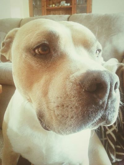 My beautiful pet. My pride and joy. Billy the amstaff ♡♥♡ ♥ Forevershowingpeoplepicturesofmyanimals Americanstaffordshire Dogsbestfriend