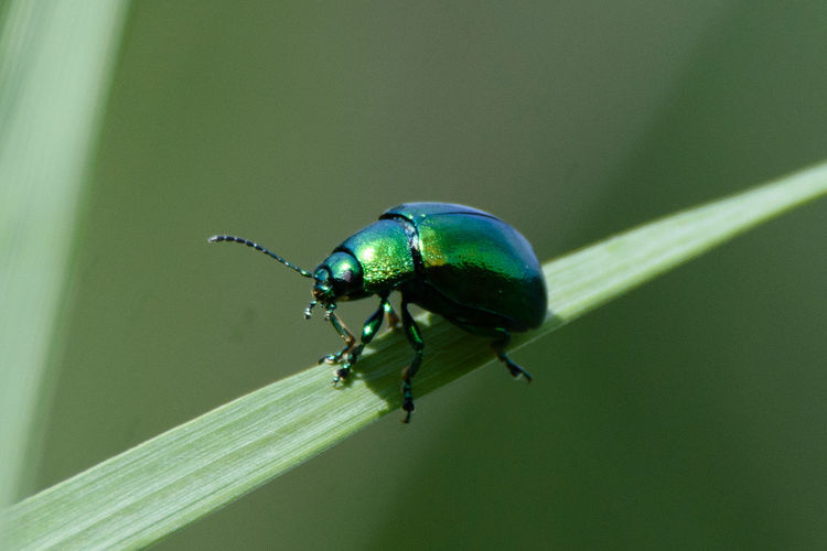 I believe this is a green dock beetle, photographed at Lackford, Suffolk, UK. Please correct me if Im wrong. Bug Wildlife Photography Animal Animal Wildlife Beetle Bugslife Close-up Dock Beetle Eyem Insects Green Beetle Green Color Green Dock Beetle Green Insect Insect Insect On Reed Insect Photo Insect Photography Insects Collection Invertebrate Nature One Animal Wildlife Zoology