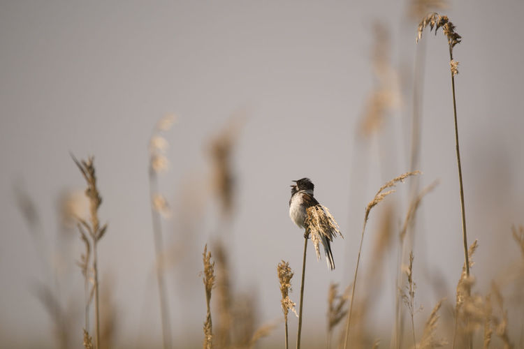 reed bunting on the reed Animal Themes Animal Wildlife Animals In The Wild Bird Bunting Close-up Focus On Foreground Nature No People One Animal Outdoors Plant Reed