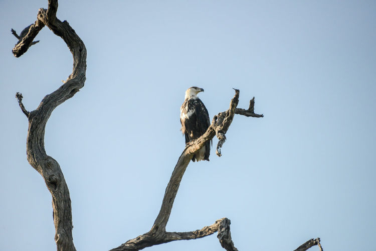 Safari in Kruger National Park, South Africa. Eagle Hawk Hawk Eagle Kruger Park National Park South Africa Wildlife & Nature Africa Animal Themes Animal Wildlife Animals In The Wild Bird Bird Of Prey Clear Sky Kruger Krugernationalpark Krugerpark Low Angle View Nature Outdoors Perching Safari Tree