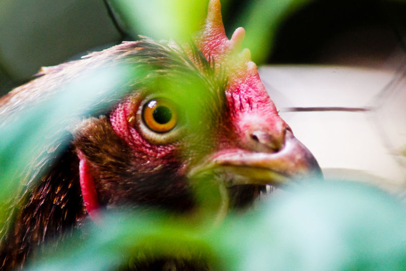 Close-up of hen outdoors
