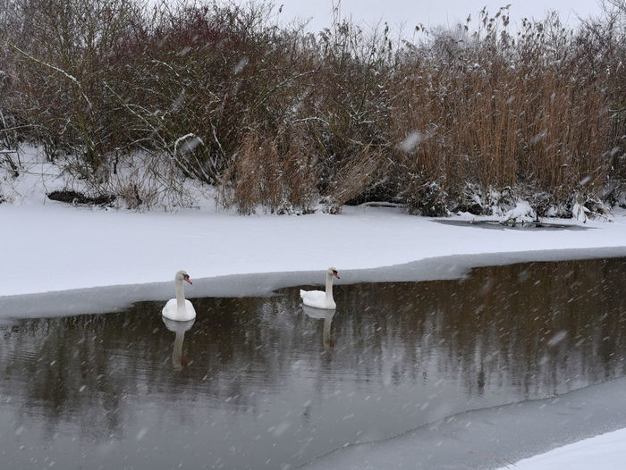 Swans in the cold lake Swan Bird Waterbirds Winter Nature Animal Themes Animals In The Wild Snow Ice Ice Crystal Cold Temperature Winter Wintertime Eye4photography  Winterwonderland Lake Nikon Nikond750 Nikkor 70-200 F4 Vr Birds Of EyeEm  Birdcollection Animal Widlife Tranquil Scene White Color Beauty In Nature