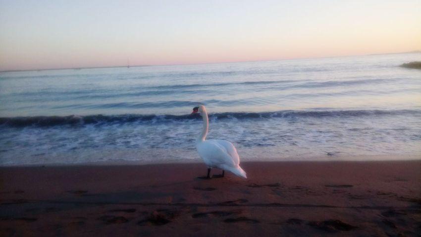 Beach Cygne Sea Bird One Animal Sand Wave Beauty In Nature
