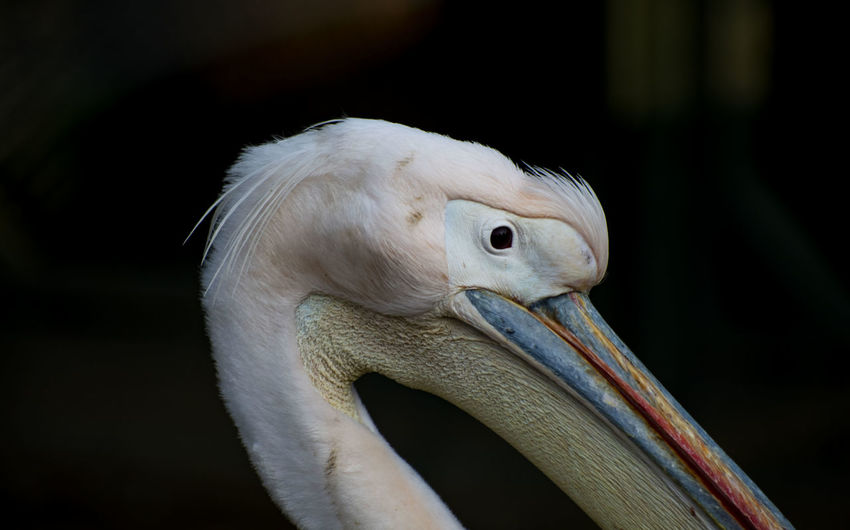 Animal Animal Themes Vertebrate One Animal Animals In The Wild Animal Wildlife Bird Focus On Foreground Beak Pelican Close-up No People Animal Body Part White Color Side View Animal Head  Nature Outdoors Day Zoology Profile View Animal Eye Animal Neck