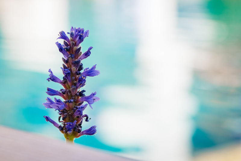 Close to the pool Flowering Plant Flower Plant Freshness Vulnerability  Purple Beauty In Nature Fragility Close-up Growth Focus On Foreground Nature No People Day Blue Selective Focus Petal Flower Head Outdoors Inflorescence Lavender