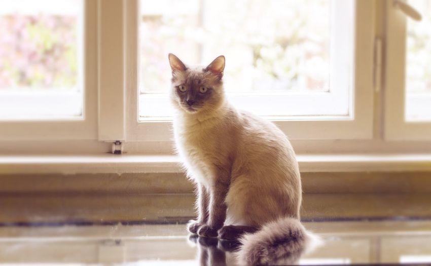 Portrait of siamese cat indoors