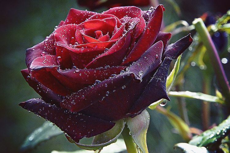 The Rose Beauty