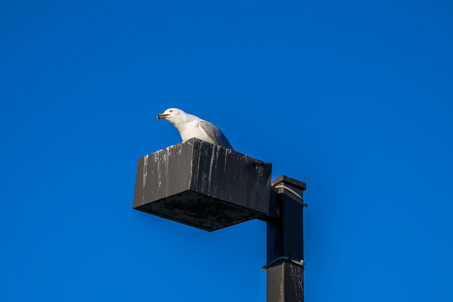 Lachine Lachine Canal Montreal Seagulls Animal Themes Animal Wildlife Animals In The Wild Bird Blue Canada Coast To Coast Clear Sky Copy Space Day Low Angle View Mourning Dove Nature No People One Animal Outdoors Perching Seagull