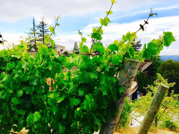 Mountain Winery Saratoga CA. Photo by Kristina Sablan Growth Sky Plant Green Color Day Nature Cloud - Sky No People Outdoors Leaf Agriculture Low Angle View Beauty In Nature Rural Scene Tree Freshness Winery View Grapes 🍇 Grapevines  Mountain View