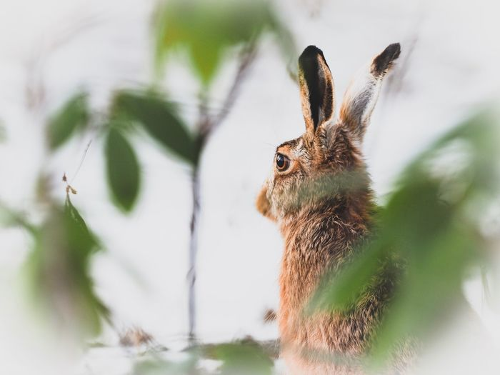 Close-up of hare