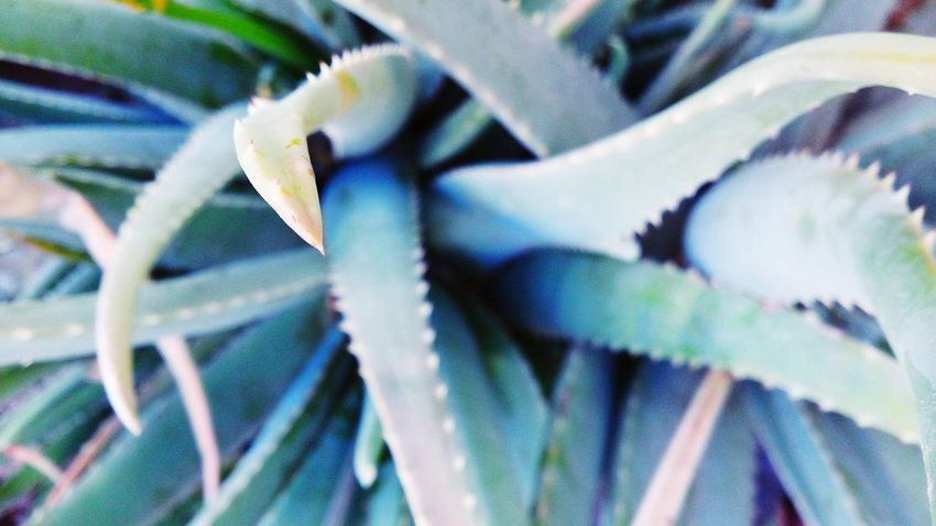 Aloe Vera Aloevera Plants Taking Photos Check This Out Mobile Photography Nature Everywhere Different Brazil Plant