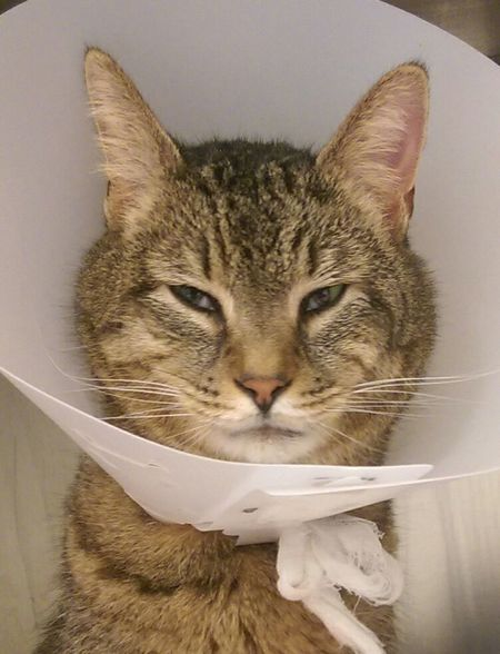 Domestic Cat Pets Domestic Animals One Animal Portrait Indoors  Close-up No People Mammal Day Sick Sick Day Sick Cat Cone Conehead Funny Veterinarian Ohio, USA