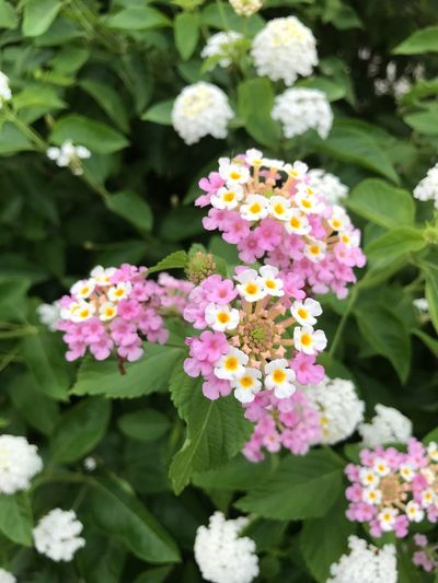 いつ見ても、 Flower Beauty In Nature Fragility Freshness Growth Lantana Camara Nature Plant Lantana Day Blooming Outdoors Autumn Japan Love Hope EyeEm Gallery 希望 願い No People Park - Man Made Space Petal Pink Color Flower Head Close-up 可愛いよ💕