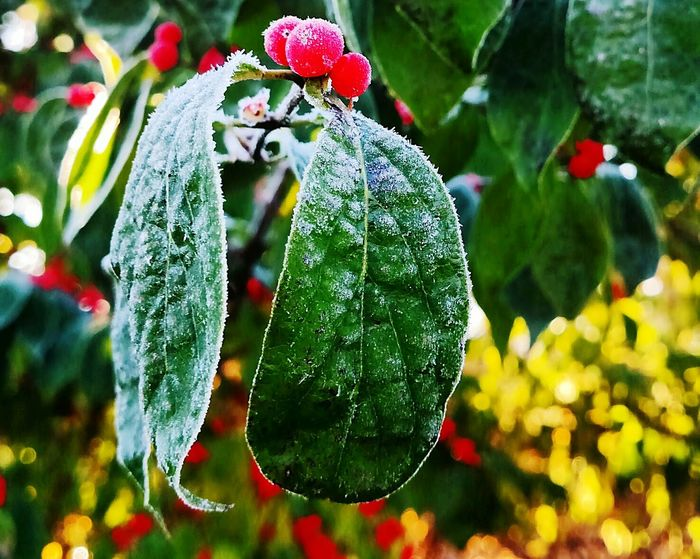 Growth Nature Close-up No People Tree Hanging Beauty In Nature Branch Green Color Berryblast Berrytree Frosty Mornings Cold Temperature Outdoors Red Berry Bushes
