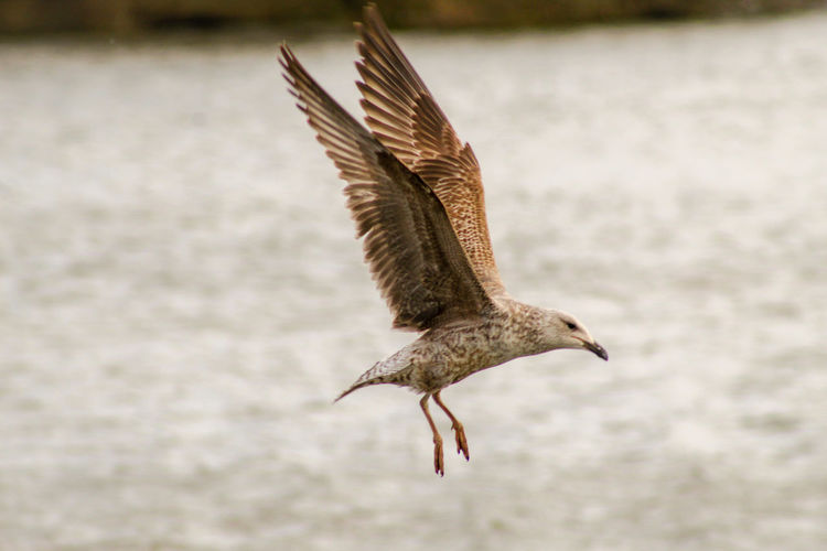 EyeEm Best Shots EyeEm Nature Lover EyeEmBestPics EyeEm Best Shots - Nature Wonders Of Nature Lakeside Young Animal Bird Spread Wings Flying Water Animal Themes Close-up Sea Bird Feather  Beak Flapping Seagull