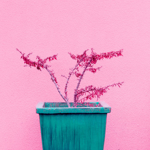 Close-up of pink potted plant against wall
