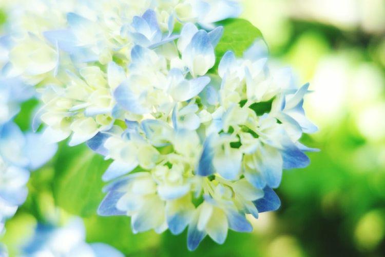 紫陽花 梅雨入りしたのかな? 今日は快晴☀だけど、寒暖差に体が…orz EyeEm Nature Lover Green Flowers Flowerporn Flower Collection Flowerpower Hydrangea Blue Gleen