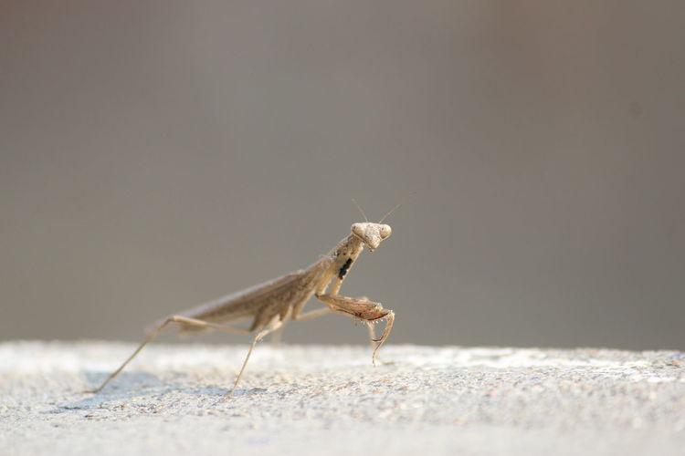 Close-up of praying mantis on metal