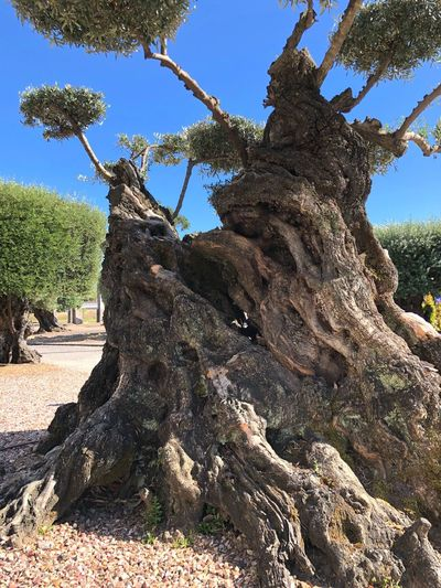 🌳two thousand year-old 💙 Bacalhoa Millenary Tree Millenary Olive Tree Ancien Tree Ancient Olive Tree Old Tree Plant Nature Sky Low Angle View Day Tranquility Tree Trunk Trunk Ancien Tree Ancient Olive Tree Old Tree Plant Nature Sky Low Angle View Day Tranquility Tree Trunk Trunk Millenary Tree Millenary Olive Tree Ancien Tree Ancient Olive Tree Old Tree Plant Nature Sky Low Angle View Day Tranquility Tree Trunk Trunk Ancien Tree Ancient Olive Tree Old Tree Plant Nature Sky Low Angle View Day Tranquility Tree Trunk Trunk
