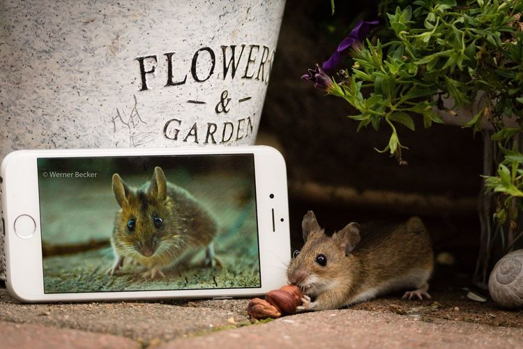 three for me and not for you 😂 Mouse Animals In My Garden Maus In My Garden Nutshots IPhone Iphone6 Apple Inc. Apple Wildlife EyeEm Animal Lover Beauty Of Nature Animals In The Wild Wildlife & Nature Beauty In Nature Nature Photography FUNNY ANIMALS Animals Nuts Showcase July