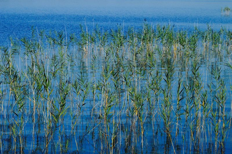 Close-up of reeds in lake