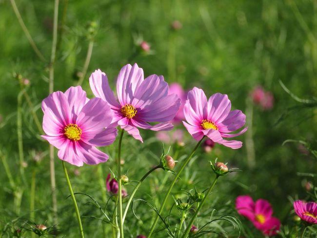 Flower Cosmos Flower Cosmos コスモス 秋桜 花