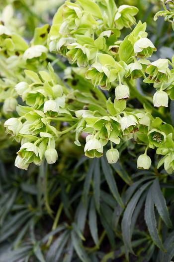 stinking hellebore (Helleborus foetidus) blossom in springtime. Green Green Color Green Color Green Flower Green Flowers  Growth Hellebore Helleborus Helleborus Foetidus Leaf Stinking Hellebore