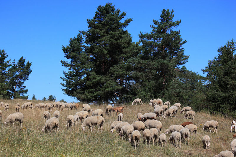 Grazing Sheep Pasture Animal Animal Themes Domestic Domestic Animals Environment Field Flock Of Sheep Grass Group Of Animals Herbivorous Herd Land Large Group Of Animals Livestock Mammal Nature No People Paddock Pets Plant Sheep Sheeps Sky Tree Vertebrate
