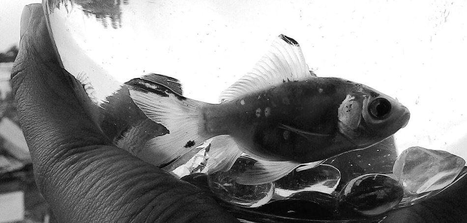 Blackandwhite Black And White Fish Pebbles Fish Bowl One Fish Monochrome Life In A Fish Bowl Blackandwhite Photography Shades Of Grey Macro Beauty