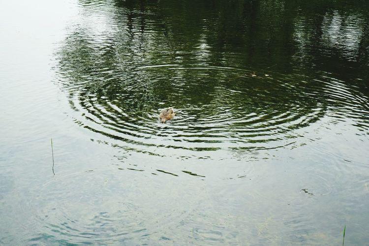 Duck Water