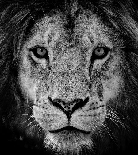 Lion Lion Lions