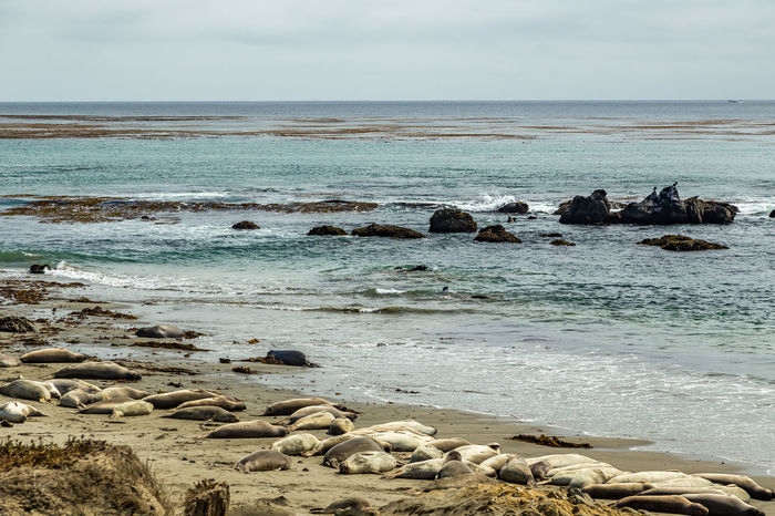 Beach Beauty In Nature Coastline Day Elephant Seals Horizon Over Water Nature No People Outdoors Pacific Coast Pacific Coast Highway Piedras Blancas Rock - Object Scenics Sea Seals Seals On Beach Sky Vacations Water Wave