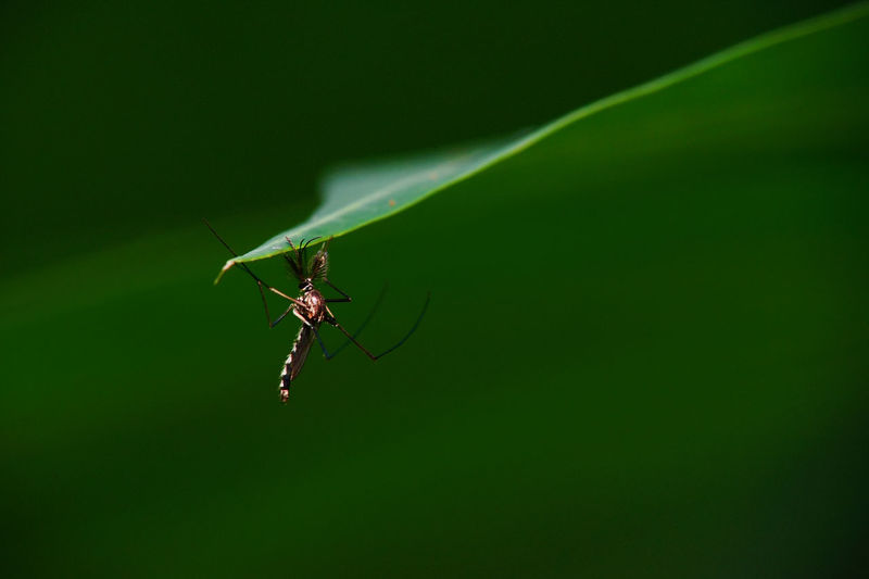 Mosquito Culicidae EyeEm Nature Lover Animal Themes Animal Wildlife Animals In The Wild Bites Close-up Day Green Color Insect Leaf Macro Mosquito Nature No People Nyamuk One Animal Outdoors
