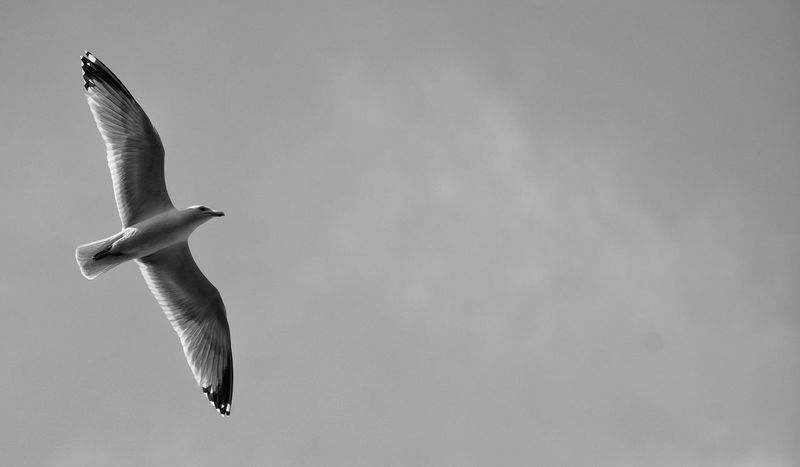Flying Bird No People Day Outdoors Spread Wings Mid-air Soaring Black And White Monochrome Thermals Wings Facing Right Seagull Beauty In Nature Avian Sharp Flight Free Gull Sky Nature Sea Life Feathered Freedom
