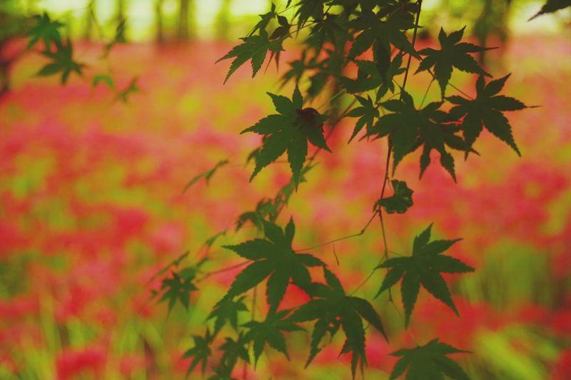 巾着田曼珠沙華公園 彼岸花 曼珠沙華 Pentaxk3 Leaf Plant Autumn Red Green Color