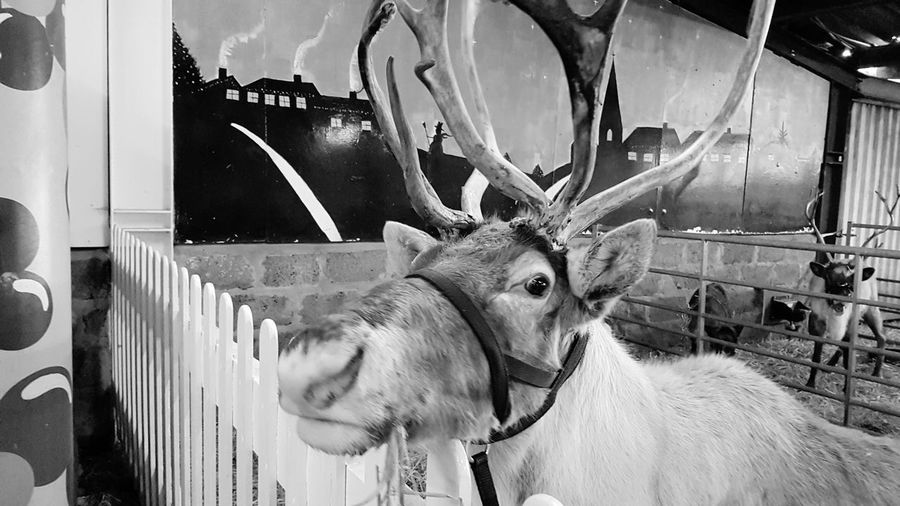 The Reindeer Centre Christmas 2017 Great Britain Kent England Kent UK Blackandwhite Black & White Blackandwhite Photography Black&white Black And White Collection  Black And White Collection! United Kingdom England, UK Travel Travel Photography Travelphotography Travel And Tourism Travel And Leisure Travel And Photography Christmastime Christmas Around The World Christmas Spirit 2017 2017 Year 2017 Photo Domestic Animals Mammal No People Animal Themes Elephant Indoors  Day