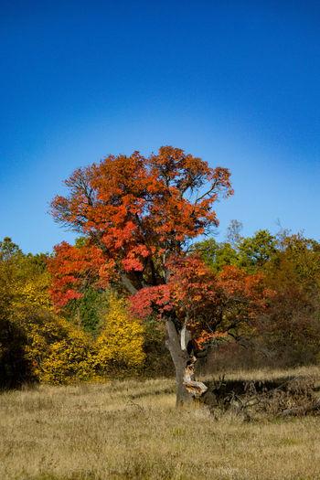 Autumn tree on field against clear blue sky