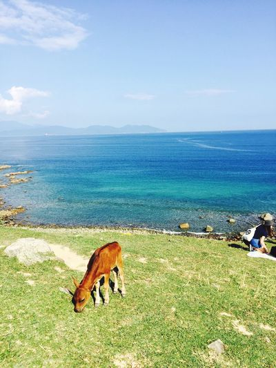 High angle view of calf grazing on field against sea