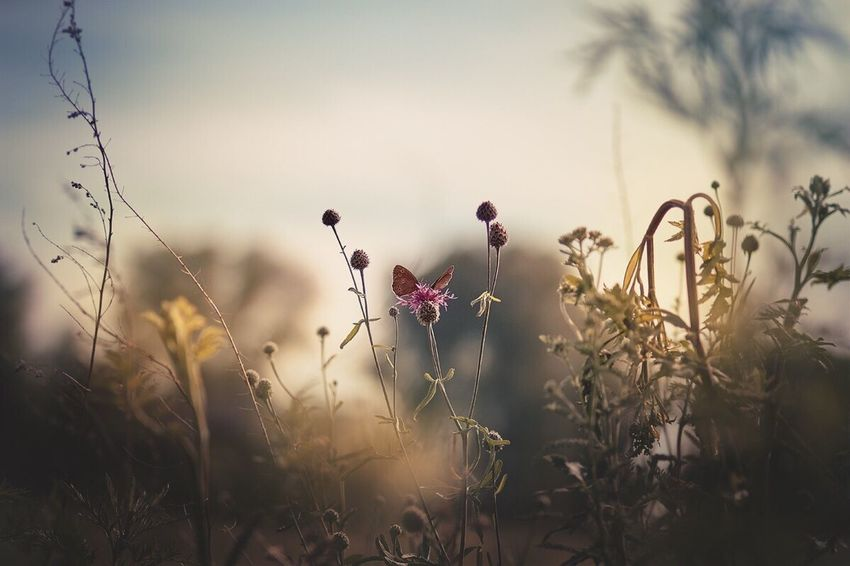 Aphantopus hyperantus Flower Growth Plant Nature Field No People Outdoors Beauty In Nature Grass Day Sky Butterfly Russia Siberia Canon Sigmaart 50mm Freshness Sunlight Idyllic