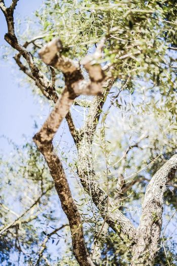 Open Edit Olive Tree Trees EyeEm Nature Lover Nature Nature_collection Blue Sky Beautiful Day Enjoying Life Summer