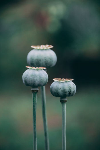 Close-Up Of Poppy Buds