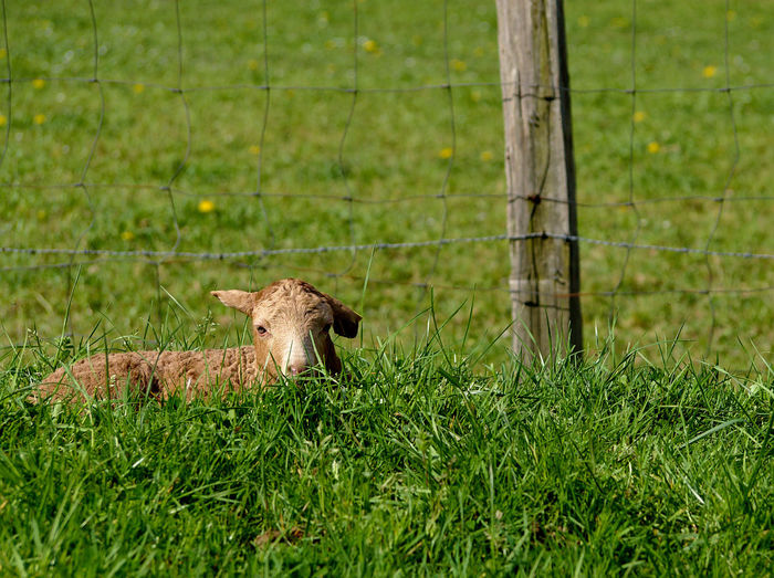 Animal Themes Animal Wildlife Day Grass Green Color Growth Inocence  Lamb Nature No People One Animal Outdoors
