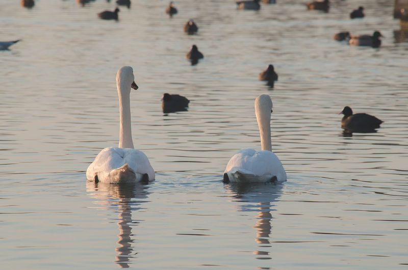 Animal Themes Animal Wildlife Animals In The Wild Beauty In Nature Bird Day Lake Nature No People Outdoors Swans Swans On The Lake Swimming Water Waterfront