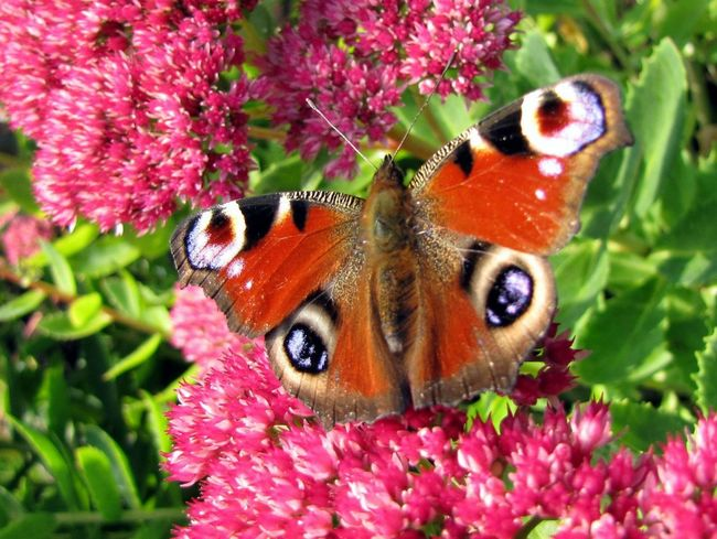 Beauty In Nature Butterfly - Insect Flower Insect Nature One Animal Pink Color