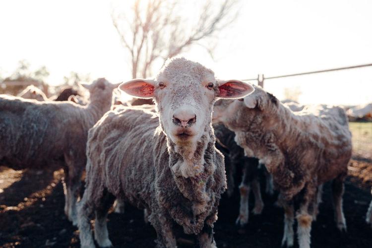 Portrait of sheep in a field
