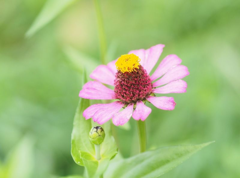 EyeEm Selects Zinnia Flower Zinnias, Flowers Zinnia Plant Nature Flower Fragility Petal Nature Beauty In Nature Freshness Growth Flower Head Plant Focus On Foreground Day Outdoors Close-up Garden Gardening Pollen Pink Color No People