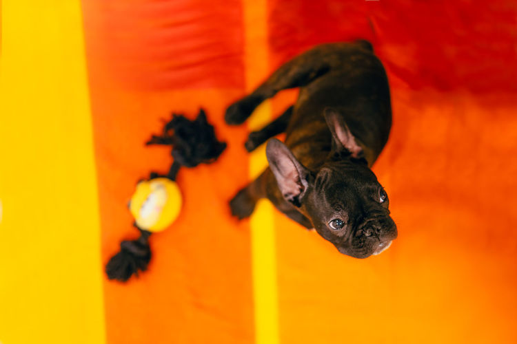 Zero, the flying dog. High Angle View One Animal Beauty Bulldog French Bulldog Pets Close-up Pampered Pets Purebred Dog Puppy